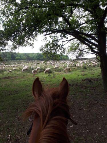 Paard met kudde schapen